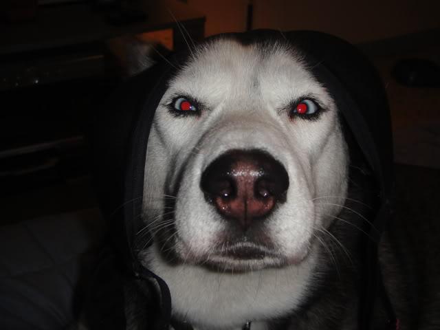Comedic Husky Picture Thread DSC00688