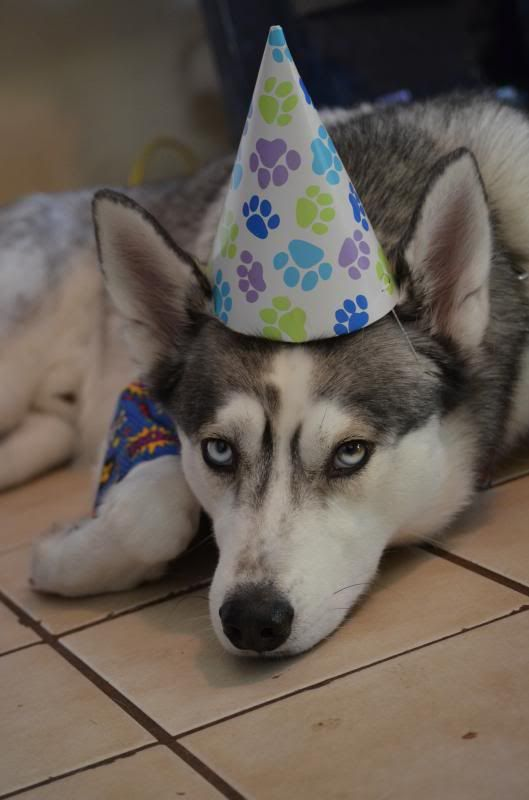 Happy 3rd Birthday to KODY!!!  *updated w/ doggy beer video* DSC_0991_zps7ff6f9e6