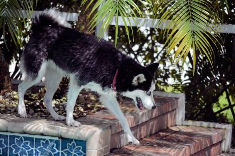 Husky Pool Party South FL Style!  1235210_10151858605305971_1755399623_n_zps83029e18