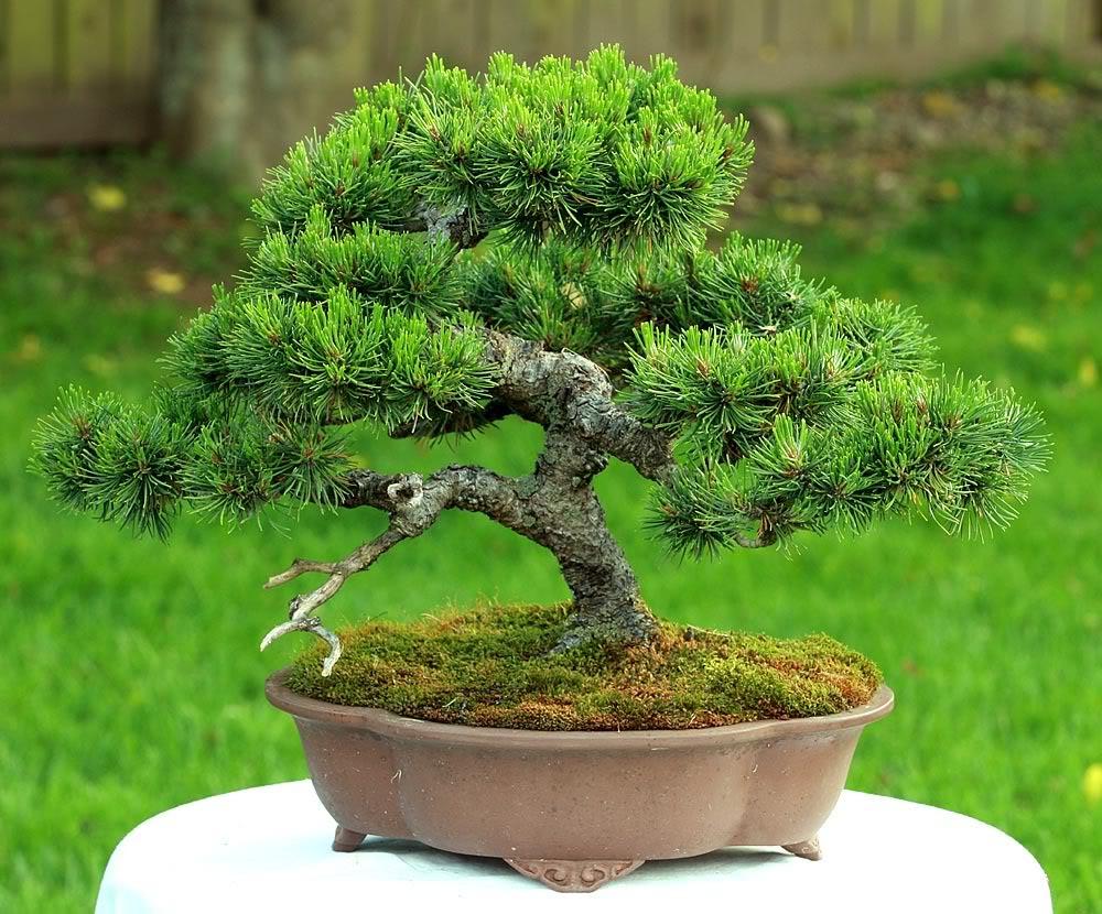 Mugo Pine Needs A New Look Mugo