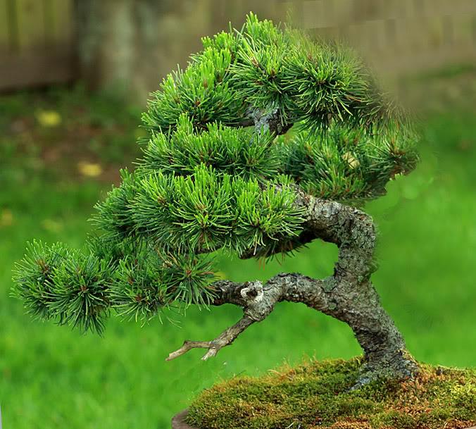 Mugo Pine Needs A New Look Mugo_restyle