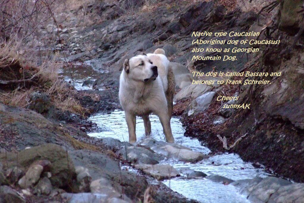 Пастушьи собаки Грузии Nativecaucasian1-1