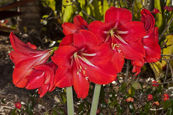 Our Front Page - Page 18 Hippeastrum_red_flowers_MG_9384