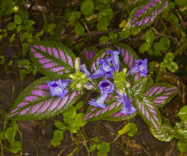 Our Front Page - Page 18 Strobilanthes_dyeriana_MG_9198