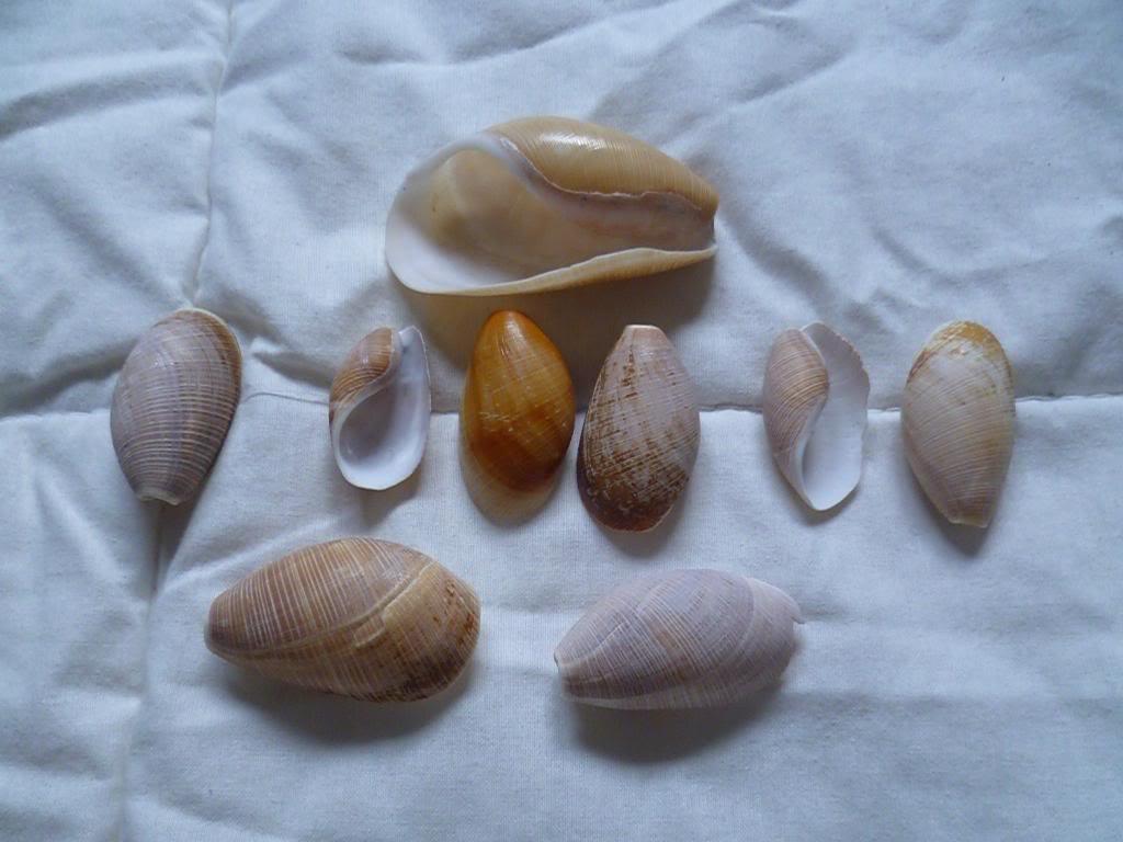 Scaphandridae - Scaphander lignarius - (Linnaeus, 1758) P1130238_zpsd4dba216