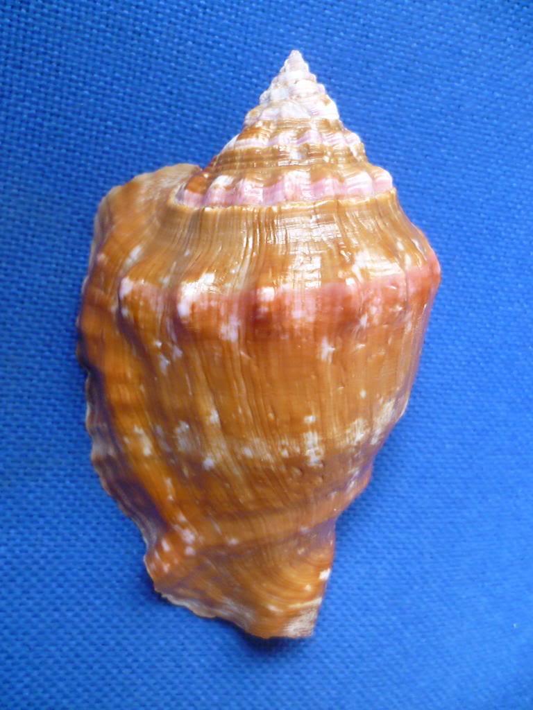 Strombidae Thetystrombus latus - (Gmelin, 1791) P1130626_zpsdd7d7225