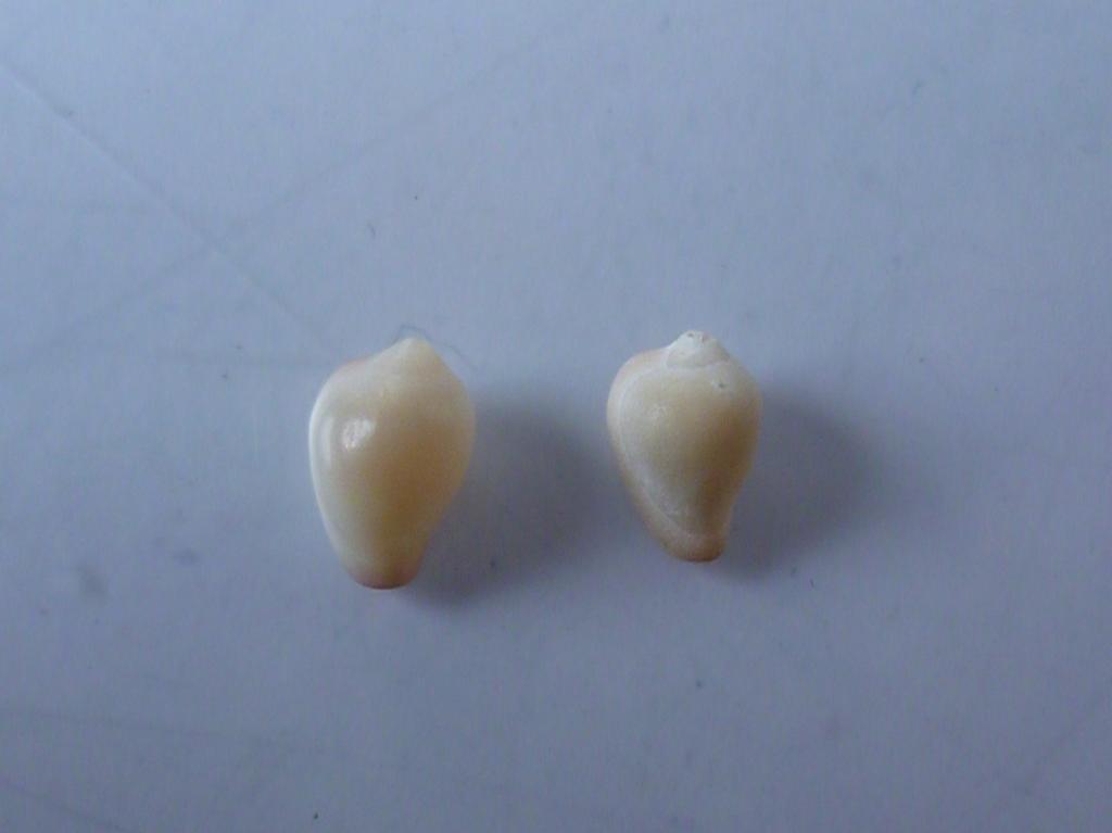 Eratoidae - Erato voluta - (Montagu, 1803) P1130750_zps8720b0de