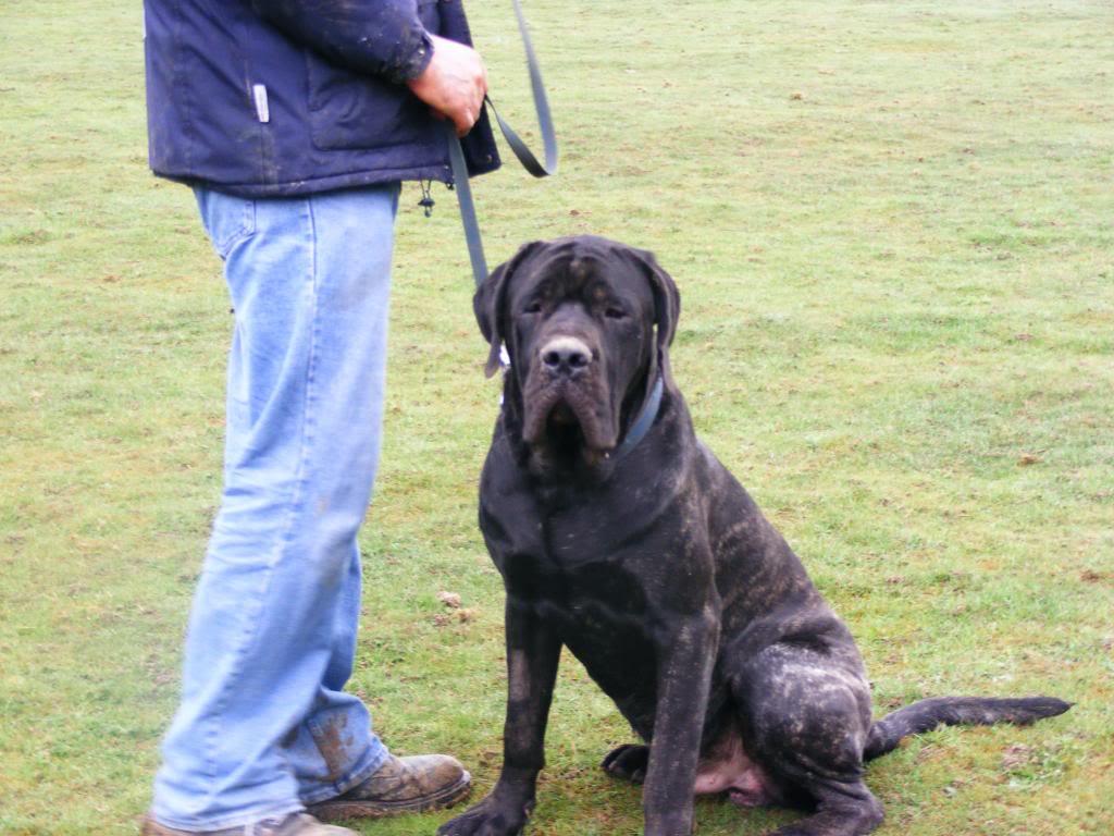 Max - English Mastiff -  Max