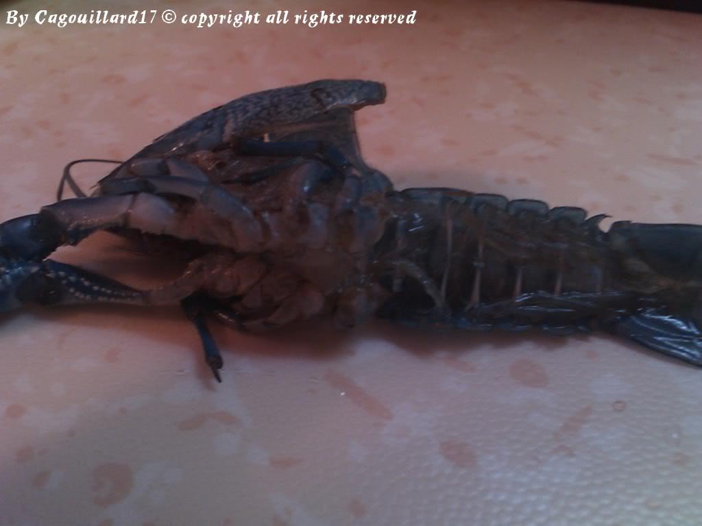 alleni - Procambarus alleni Ecrevisse bleue de floride DSC_0576