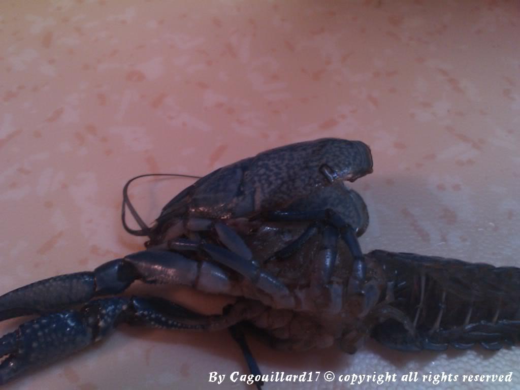 alleni - Procambarus alleni Ecrevisse bleue de floride DSC_0580