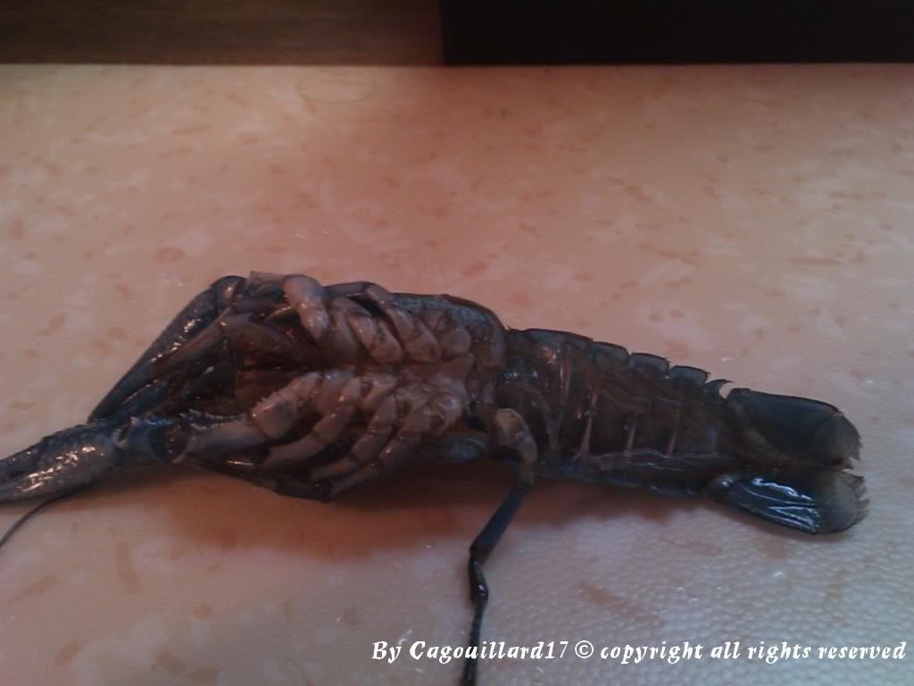 alleni - Procambarus alleni Ecrevisse bleue de floride DSC_0588