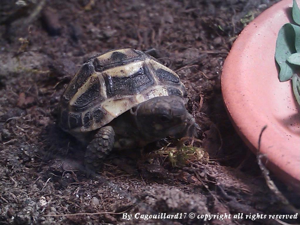 je vous présente le terratore... (Bébé tortue terrestre (Testudo hermanni hermanni) DSC_0597-1