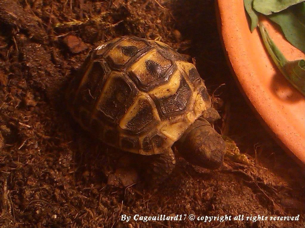 je vous présente le terratore... (Bébé tortue terrestre (Testudo hermanni hermanni) DSC_0599-1