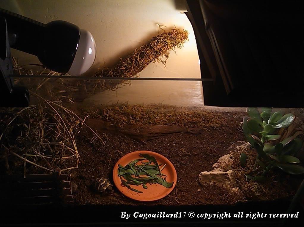 je vous présente le terratore... (Bébé tortue terrestre (Testudo hermanni hermanni) DSC_0604-1