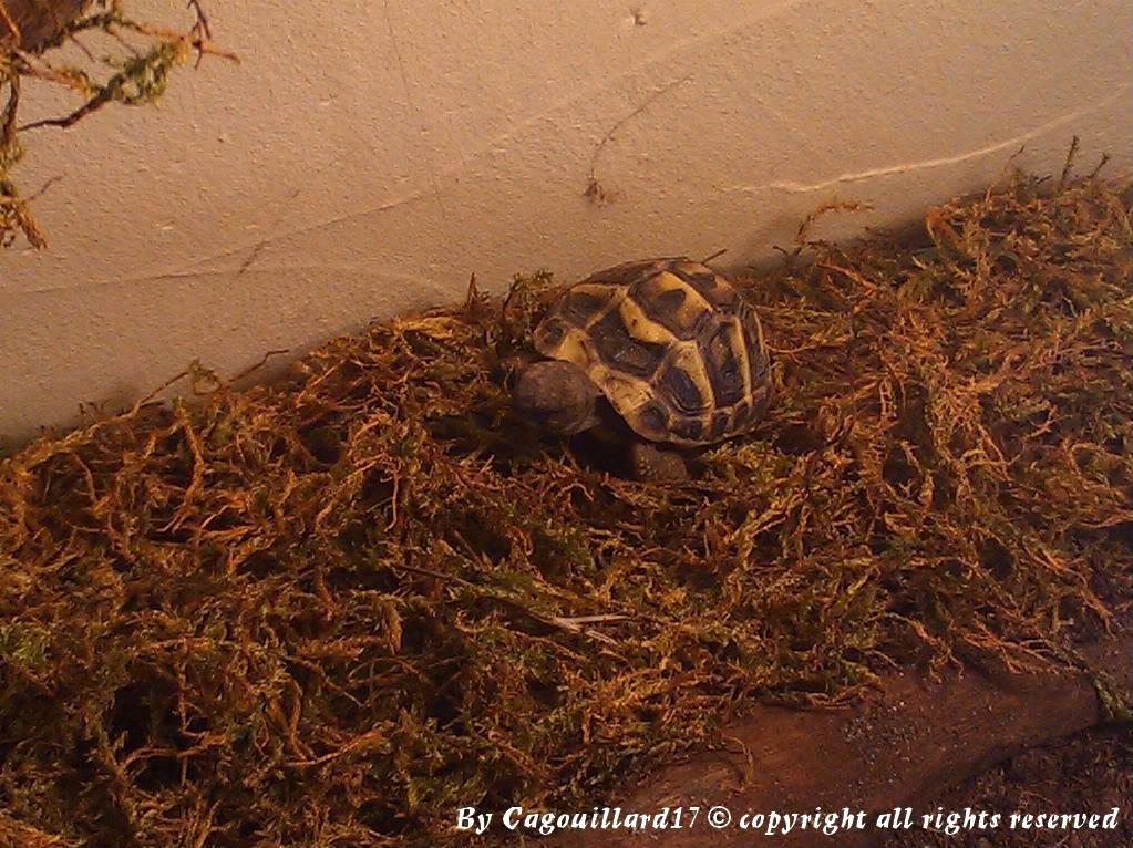 je vous présente le terratore... (Bébé tortue terrestre (Testudo hermanni hermanni) DSC_0615-1