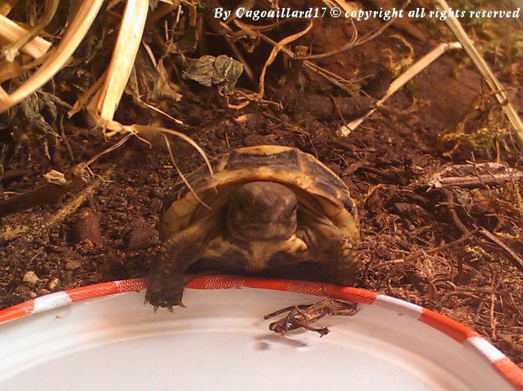 je vous présente le terratore... (Bébé tortue terrestre (Testudo hermanni hermanni) DSC_0627-1