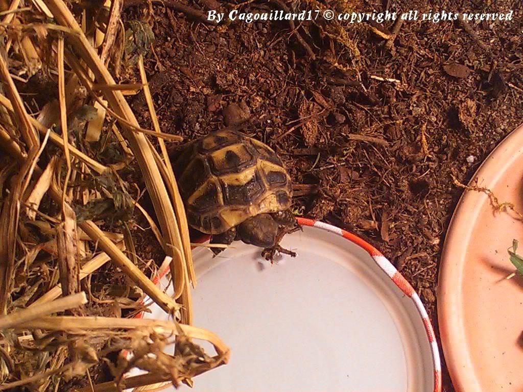 je vous présente le terratore... (Bébé tortue terrestre (Testudo hermanni hermanni) DSC_0629
