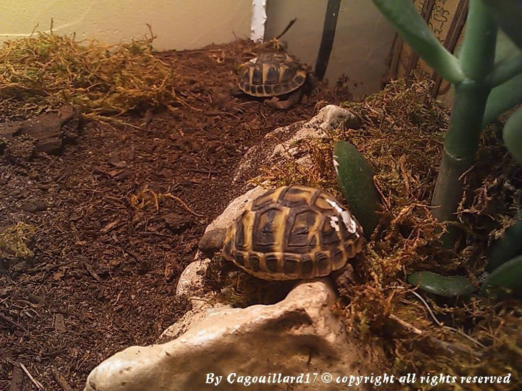je vous présente le terratore... (Bébé tortue terrestre (Testudo hermanni hermanni) DSC_0633-1
