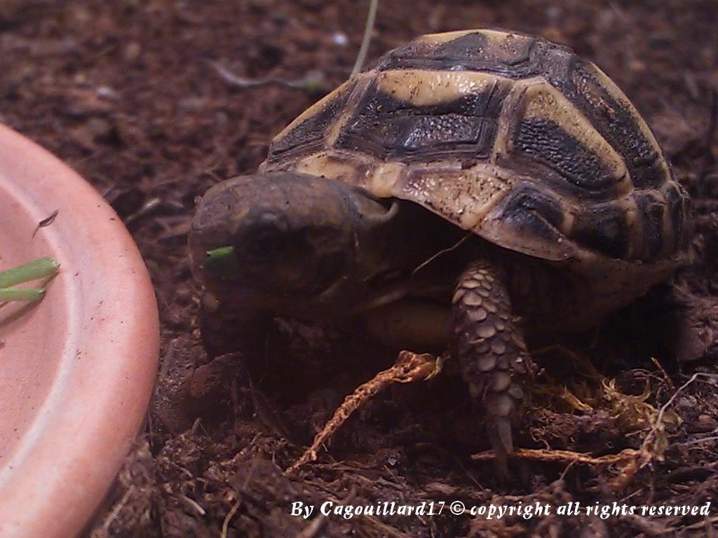 je vous présente le terratore... (Bébé tortue terrestre (Testudo hermanni hermanni) - Page 2 DSC_0651
