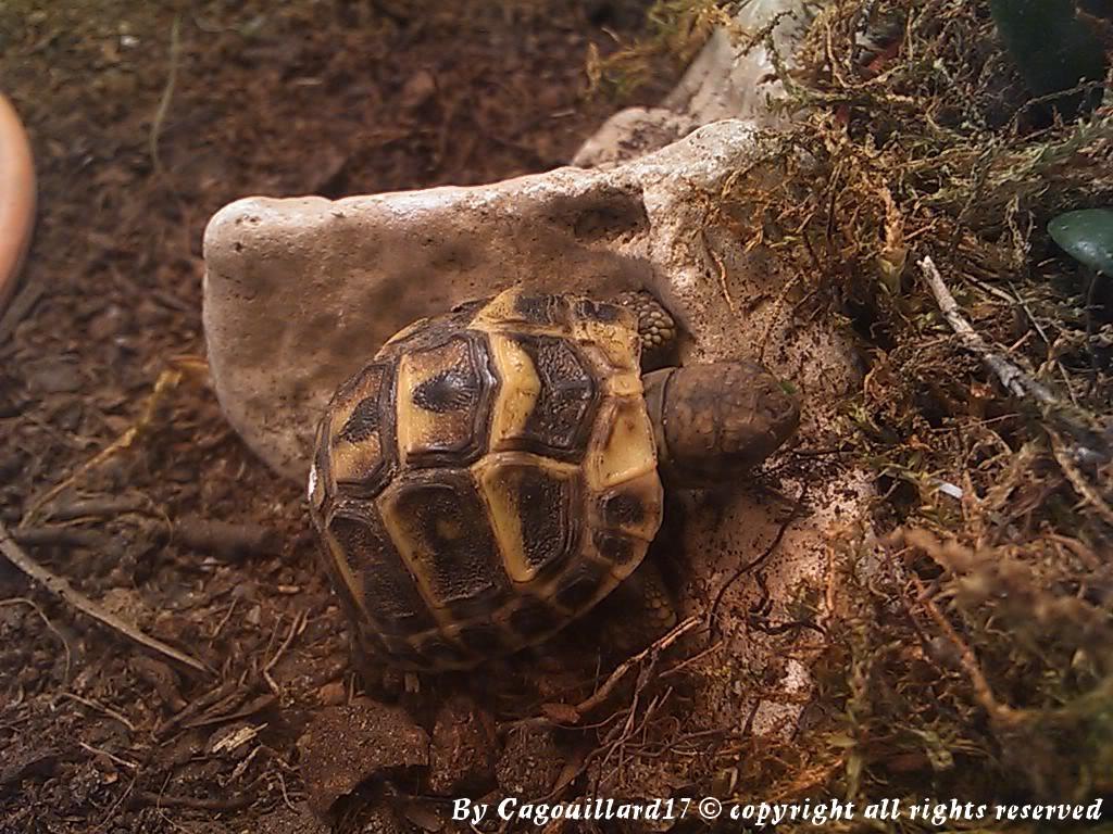 je vous présente le terratore... (Bébé tortue terrestre (Testudo hermanni hermanni) - Page 2 DSC_0655
