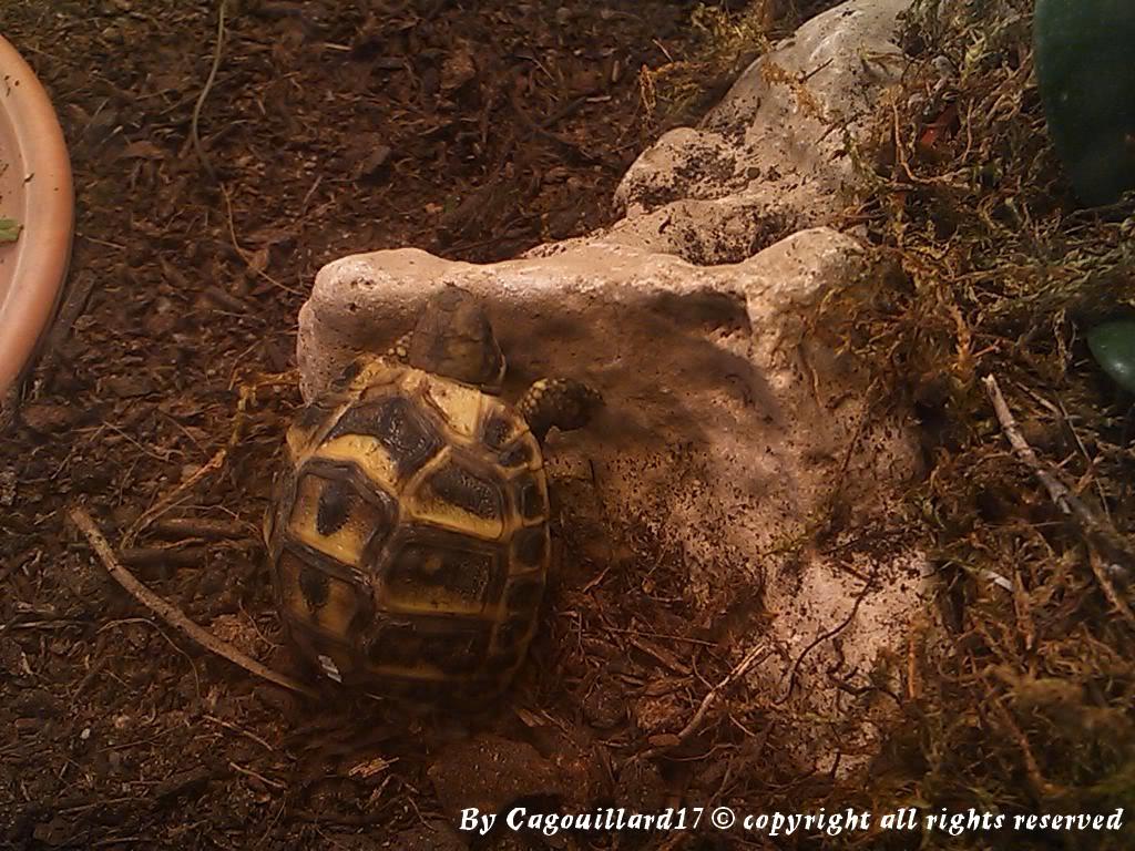 je vous présente le terratore... (Bébé tortue terrestre (Testudo hermanni hermanni) - Page 2 DSC_0657