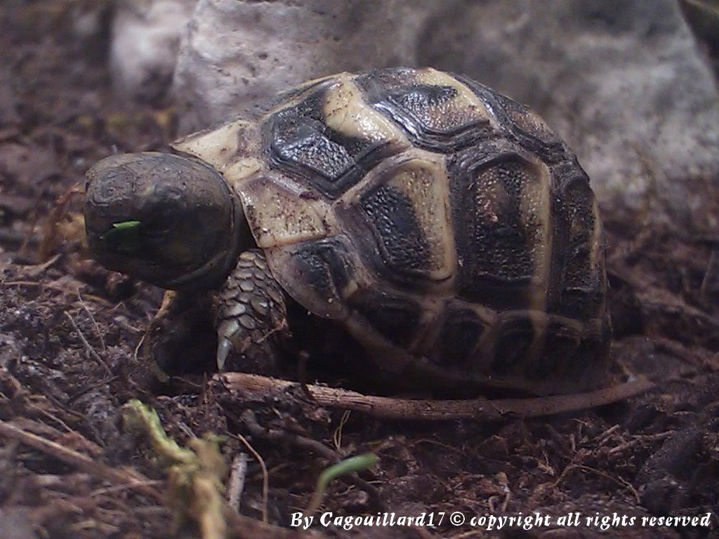 je vous présente le terratore... (Bébé tortue terrestre (Testudo hermanni hermanni) - Page 2 DSC_0661