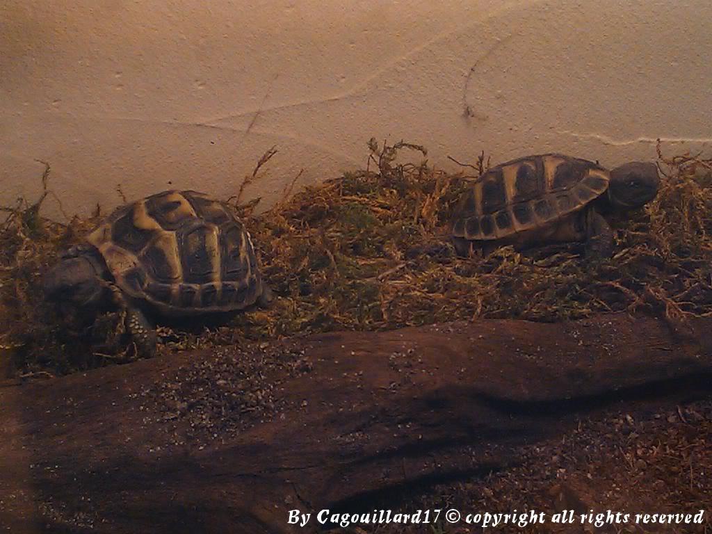 je vous présente le terratore... (Bébé tortue terrestre (Testudo hermanni hermanni) - Page 2 DSC_0672