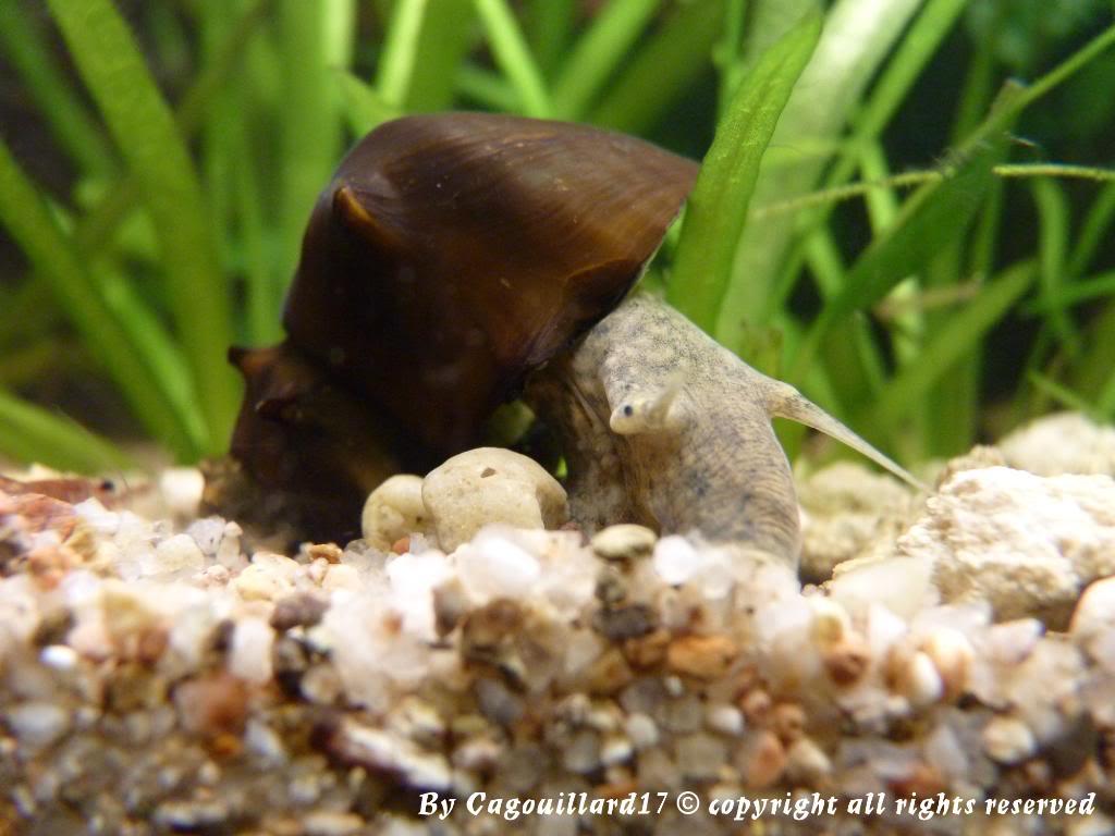 "Brotia pagodula ""escargot"" P1000238"