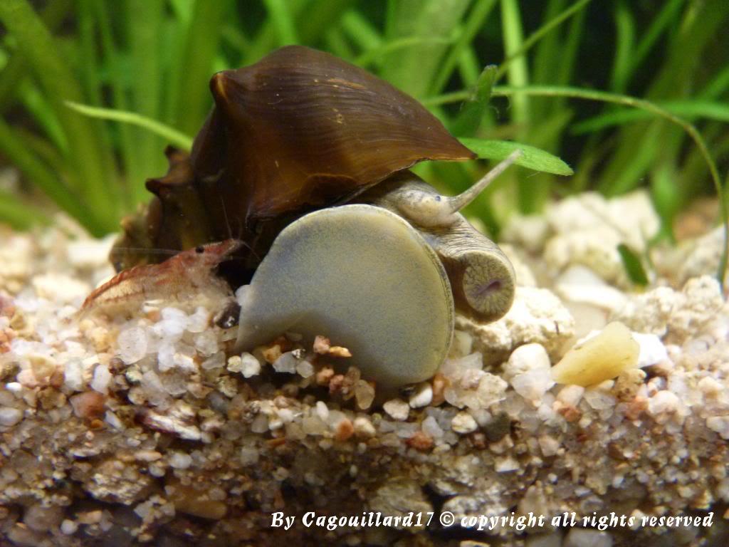 "Brotia pagodula ""escargot"" P1000249"
