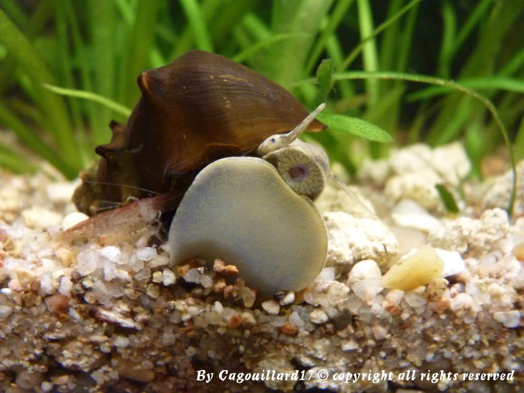"Brotia pagodula ""escargot"" P1000250"