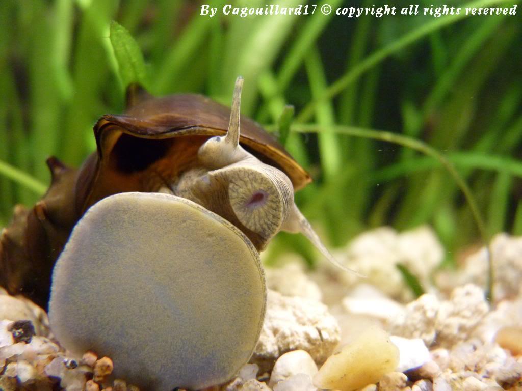 "Brotia pagodula ""escargot"" P1000255"