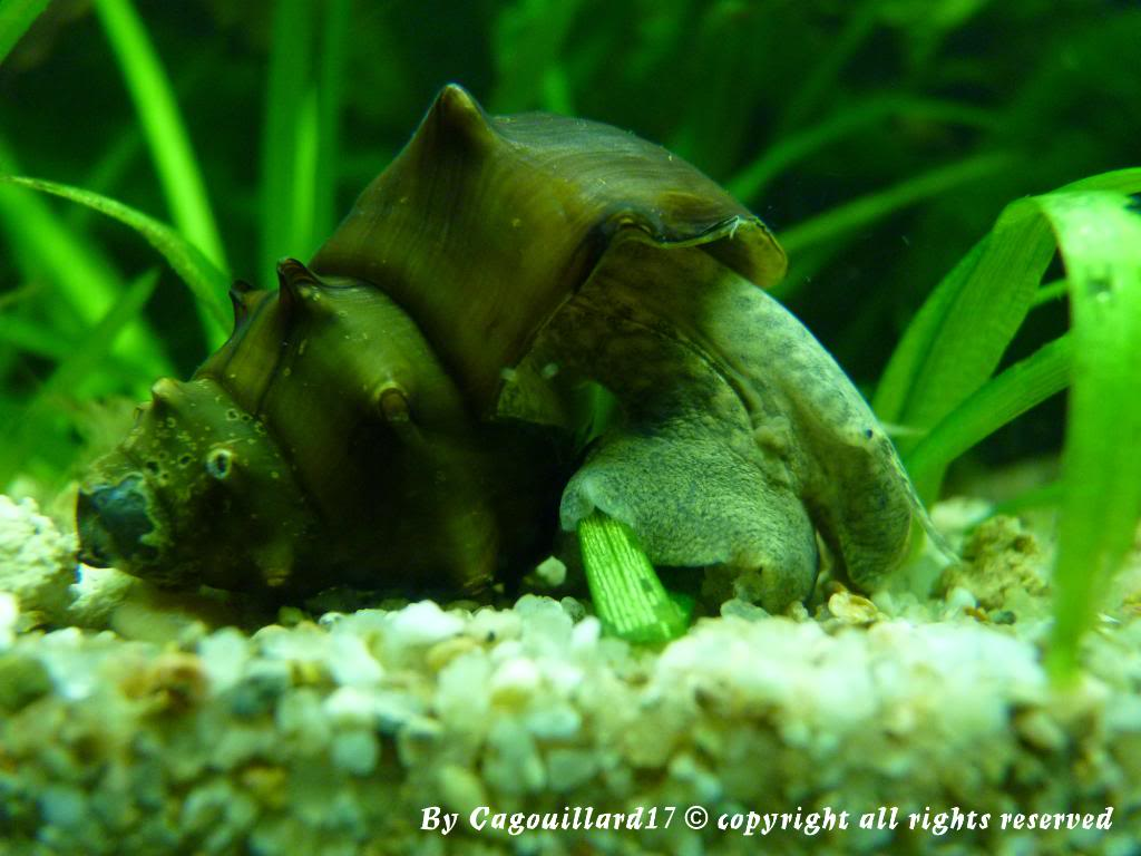 "Brotia pagodula ""escargot"" P1000271"