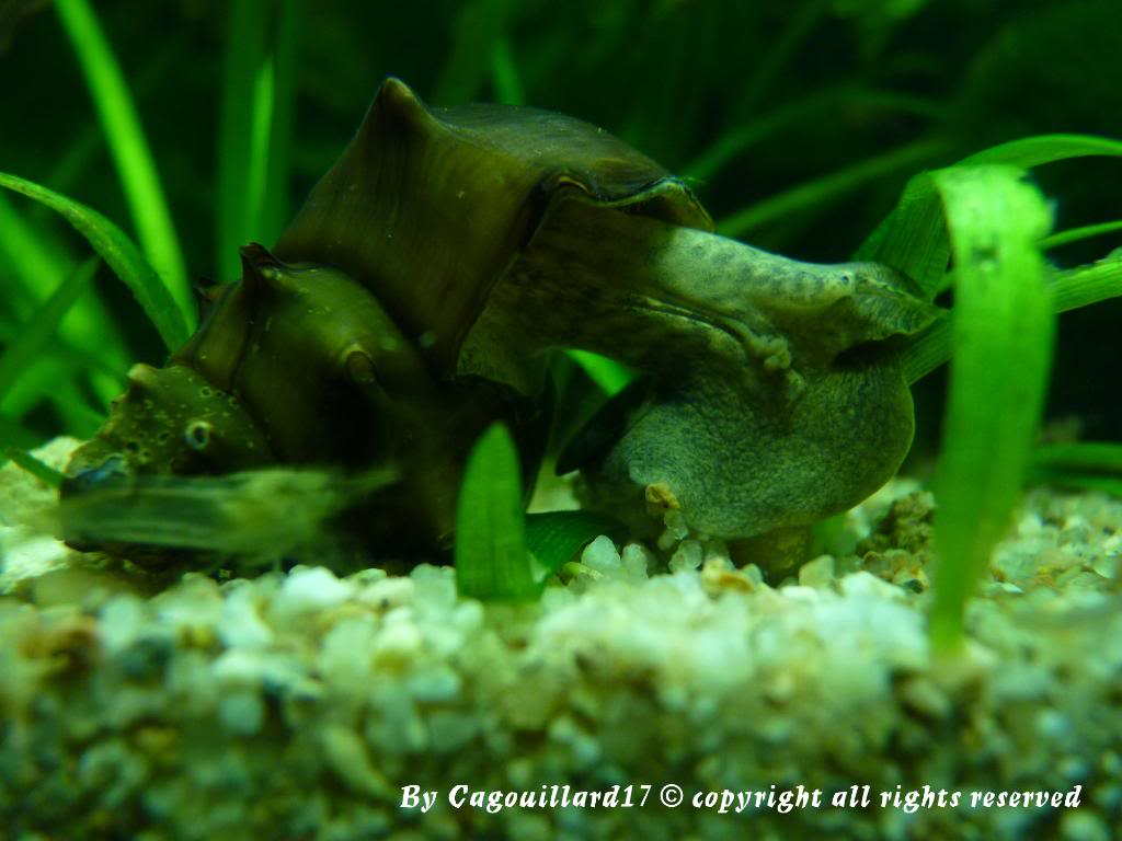 "Brotia pagodula ""escargot"" P1000277"