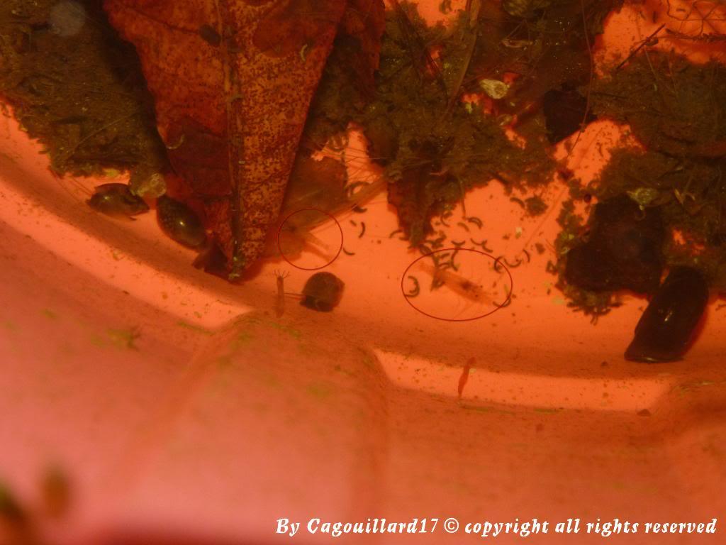 Qui a dit que les crevettes aimées pas le froid P1010694