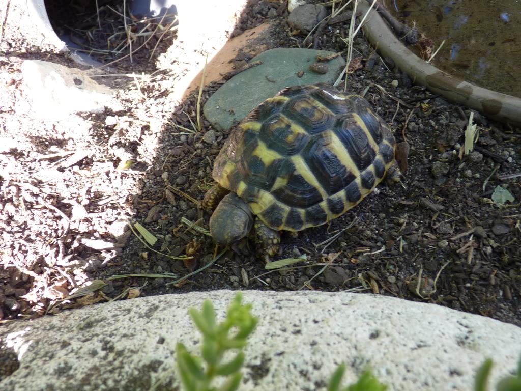je vous présente le terratore... (Bébé tortue terrestre (Testudo hermanni hermanni) - Page 2 P1040504