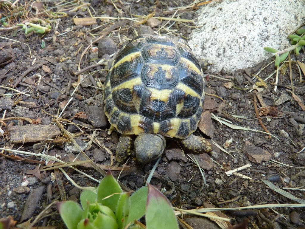 je vous présente le terratore... (Bébé tortue terrestre (Testudo hermanni hermanni) - Page 2 P1040507