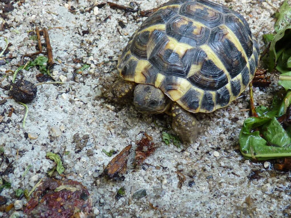 je vous présente le terratore... (Bébé tortue terrestre (Testudo hermanni hermanni) - Page 2 P1040550