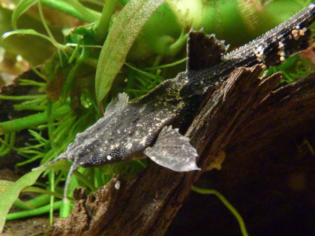 Bunocephalus coracoideus (Banjo cat) P1050958