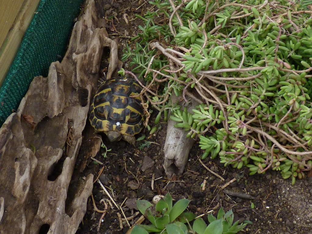 je vous présente le terratore... (Bébé tortue terrestre (Testudo hermanni hermanni) - Page 2 P1070502