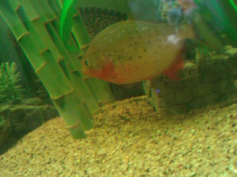 Avis sur la maintenance de piranhas Wp_00010