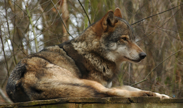 The Lone Wolf 831-gray-wolf