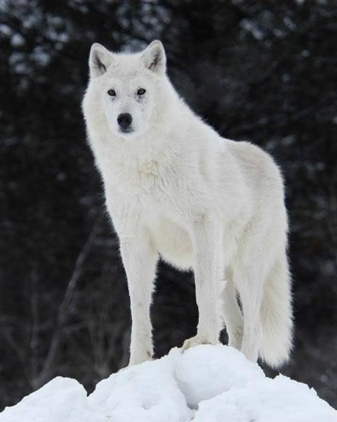 Mount Shasta Wolf Pack - OPEN TO ALL ArticWolf