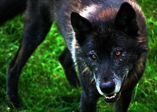 Ramses The Wise Black_Wolf_by_CindarellaPop