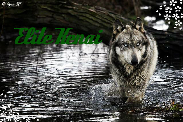 Wolf Information - Kenai of Helidos EliteKenai