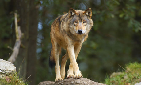 The Lone Wolf European-gray-wolf--007