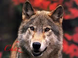 Howl To The Wind (Open for ALL ~ Mature) NEED MORE PEOPLES!!! JLM-wolf03-1024x768-1