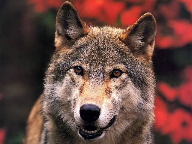 Mount Shasta Wolf Pack - OPEN TO ALL JLM-wolf03-1024x768