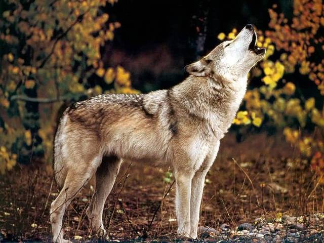 Mount Shasta Wolf Pack - OPEN TO ALL JLM-wolf05-1024x768