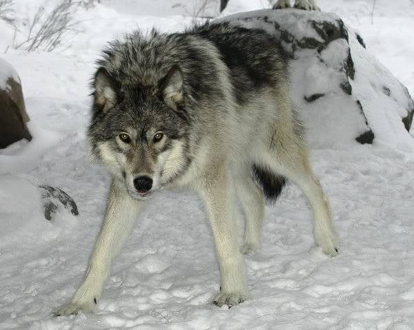 Mount Shasta Wolf Pack - OPEN TO ALL W1-1