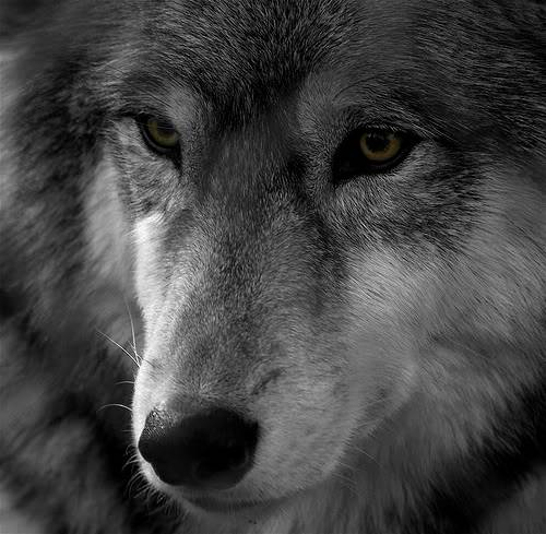 Mount Shasta Wolf Pack - OPEN TO ALL W2